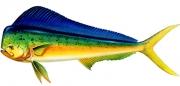 Dolphin_fish_m