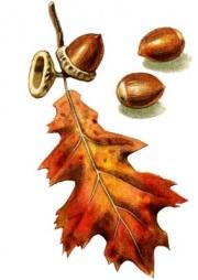 acorns_m