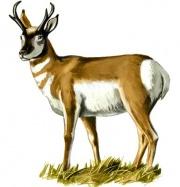 antelope_1