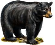 black_bear_m